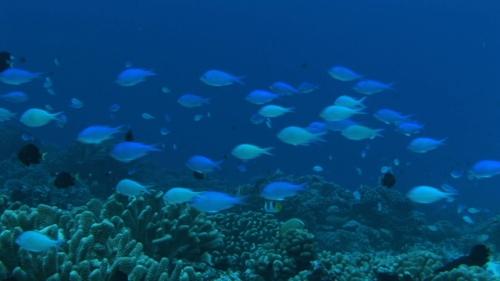 Fakarava, Neon damsel fishes over the coral garden