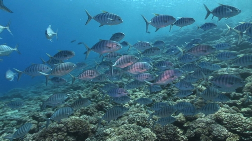 Striped jack fishes shooling and swimming in the pass