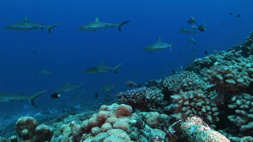 Group of grey sharks swimming  along the coral reef