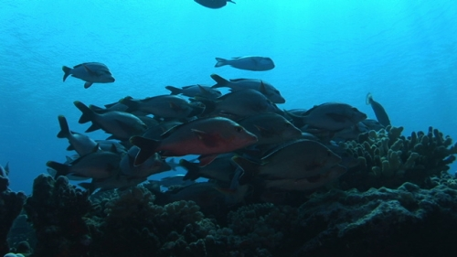 Red paddle tail snappers schooling and facing the current near the coral reef