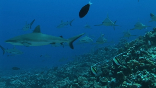 Group of grey reef sharks swimming toward the camera along the coral reef