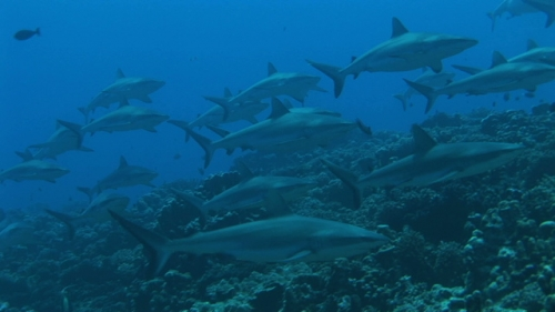 Group of grey reef sharks swimming along the coral reef, facing the current, close up