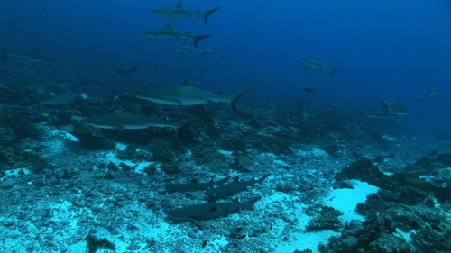 White tip lagoon sharks resting on the ground of the pass, Group of grey reef sharks swimming around
