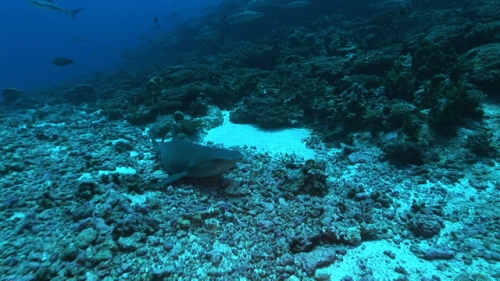 Single White tip lagoon shark resting and going away towards a group of grey reef sharks
