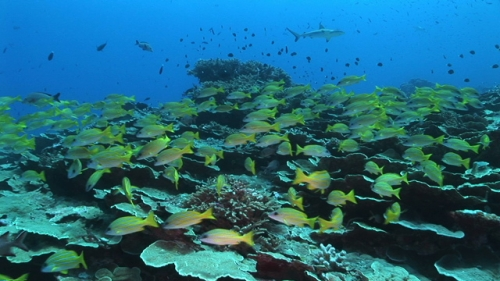 Blue lined yellow snappers gatering near the roses coral formation
