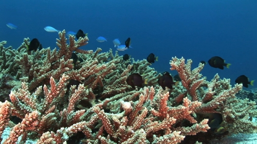 Black damsel fishes living in the coral garden, scenic