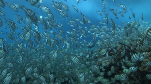 Fakarava, Convict tang fishes mating shallow