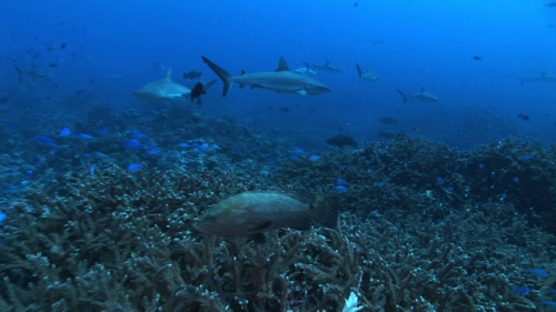 Grey reef sharks and bleu damsel fishes swimming in the coral garden