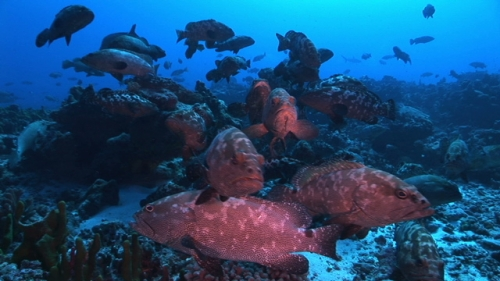 Marbled groupers schooling before mating in the deep pass, facing camera