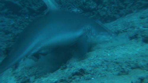 Raiatea, grey shark and white tip lagoon shark fighting for pray