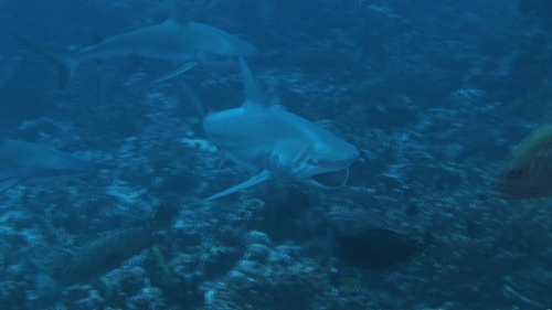 Fakarava, Black fin shark having a pray in mouth after hunting, follwed by hord of grey sharks