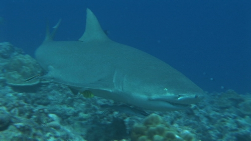 Bora Bora, Single lemon shark swimming along the coral garden