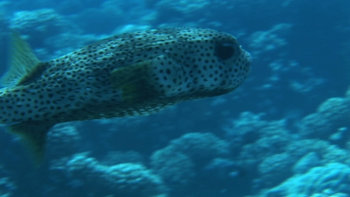 Porcupine or Puffer fish swimming in the coral garden, zoom