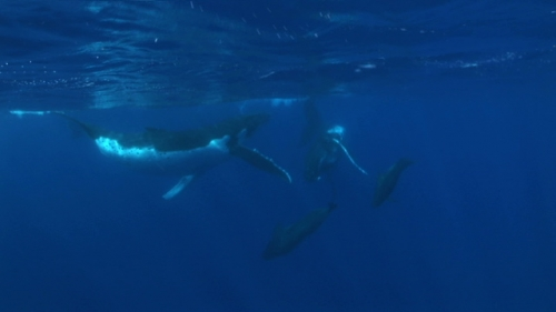 Moorea, encounter with two Humpback whales and pilote whales