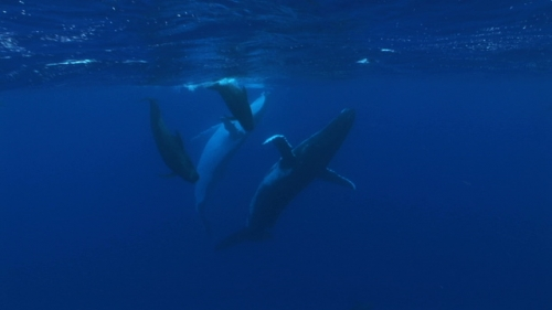 Moorea, Humpback whale and pilote whales swimming together