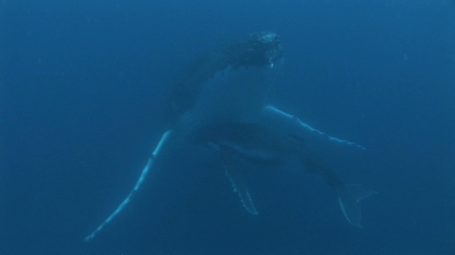 Moorea, Humpback whale, mother and calf resting and socializing, hugging