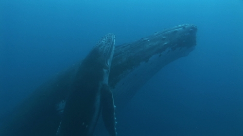 Moorea, Humpback whale, mother and calf resting, calf swimming to the surface