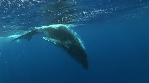 Moorea, Humpback whale, calf breathing and swimming to the depth while mother resting