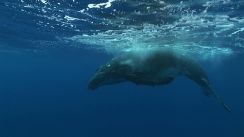 Moorea, Humpback whale, calf breathing and playing under surface before swimming to the depth