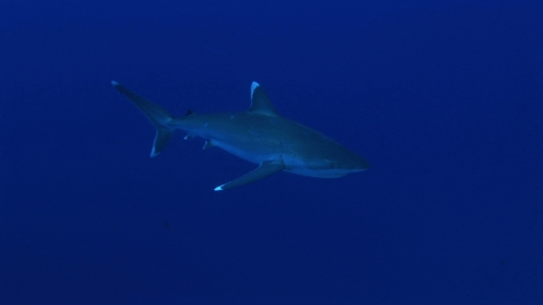 Silver tip shark swimming in the deep blue close to the reef