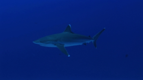 Silver tip shark swimming in the deep blue close to the reef and fishes