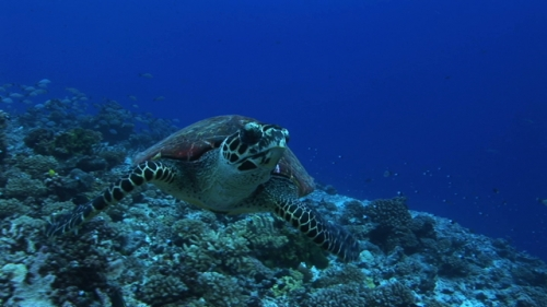 Hawksbill turtle coming from the bleu, swimming towards the camera