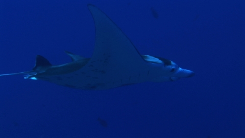 Manta Ray swimming in the deep blue of Rangiroa, single