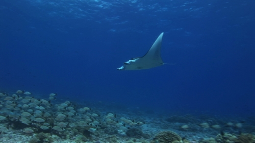 Manta Ray swimming over the coral garden of Rangiroa, single
