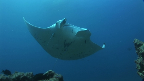 Manta Ray swimming over the camera, single