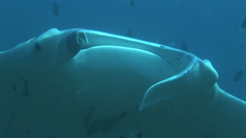 Manta Ray cleaned by cleaner wrasses, zoom, Manihi