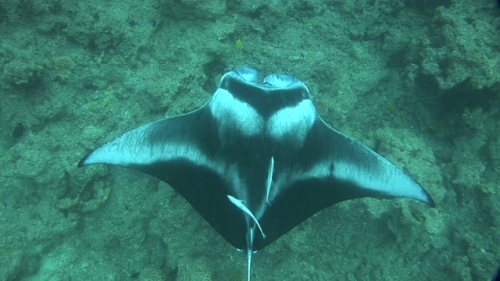 Manta Ray with remoras Swimming shot from above, in the lagoon, Manihi