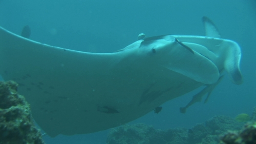 Manta Ray being cleaned by with cleaner wrasses in the lagoon, Manihi