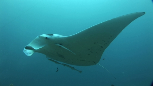 Manta Ray swimming in the lagoon, cleaning station,  Manihi, scuba divers in the background