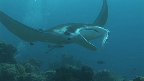 Manta Ray Swimming in a cleaning station with cleaner wrasses, Manihi
