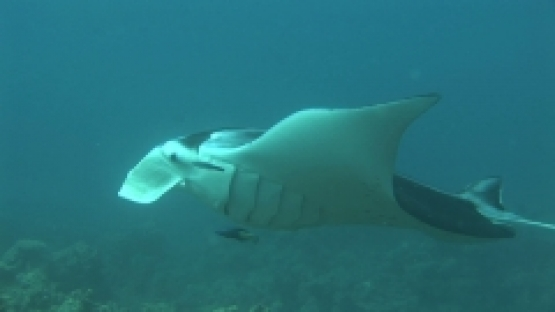 Manta Ray being cleaned by cleaner wrasses, opened mouth, zoom,  Manihi