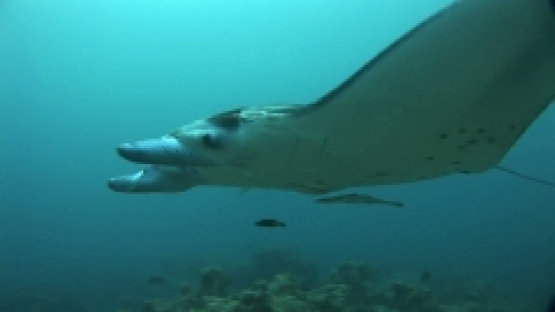 Manta Ray Swimming in a cleaning station with remoras, Manihi