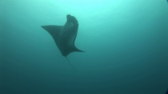 Manta Ray swimming under the surface light,  lagoon of Manihi