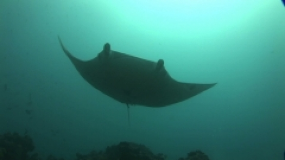 Manta Ray Swimming close the camera, lagoon, Manihi