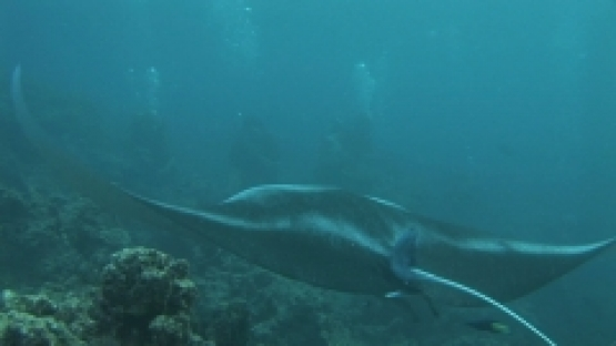 Manta Ray Swimming towards scuba divers, lagoon, Manihi