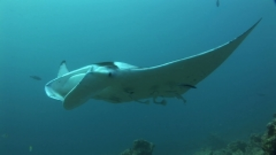 Manta Ray Swimming in a cleaning station with remoras, close to camera, Manihi