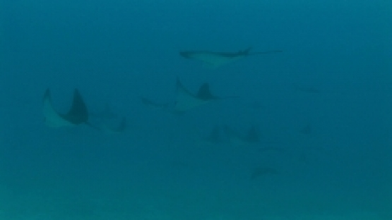 Eagle rays schooling and swimming in the lagoon, Bora Bora