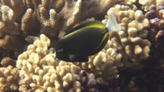 Manihi, yellow tail black surgean fish looking for food in the coral garden