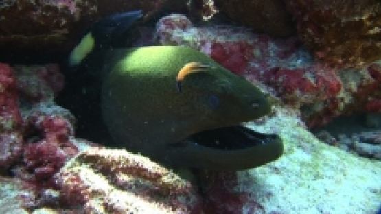 Manihi, Giant moray eel and cleaner wrasses in the coral reef