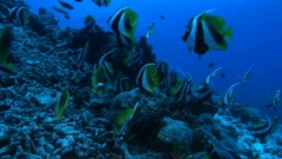 Rangiroa, Moorish idol and banner fishes schooling along the drop off, in the Tiputa pass