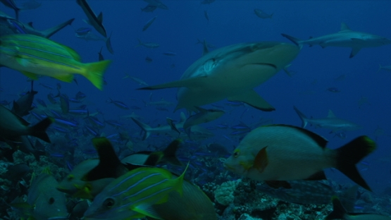 Tahiti, Grey reef sharks and remoras swimming among schooling fishes