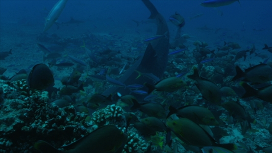 Tahiti, Tiger shark swimming among schooling fishes, searching food