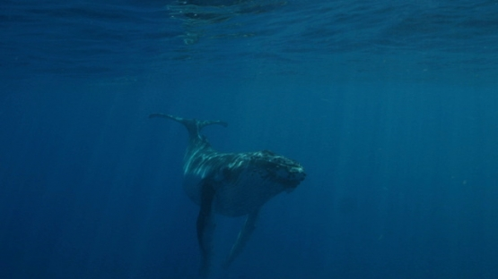 Rurutu, Humpback whale calf swimming and playing near surface ocean