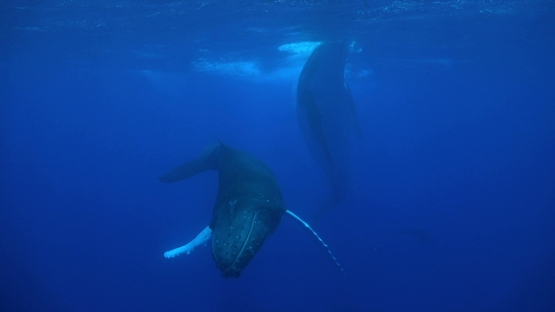Moorea, Two Humpback whales, calf swimming and playing under the surface