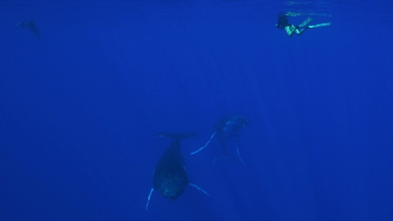 Moorea, two Humpback whales swimming and watched by snorkelers