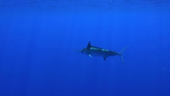 Moorea, deep sea fish, single Blue marlin swimming close to camera